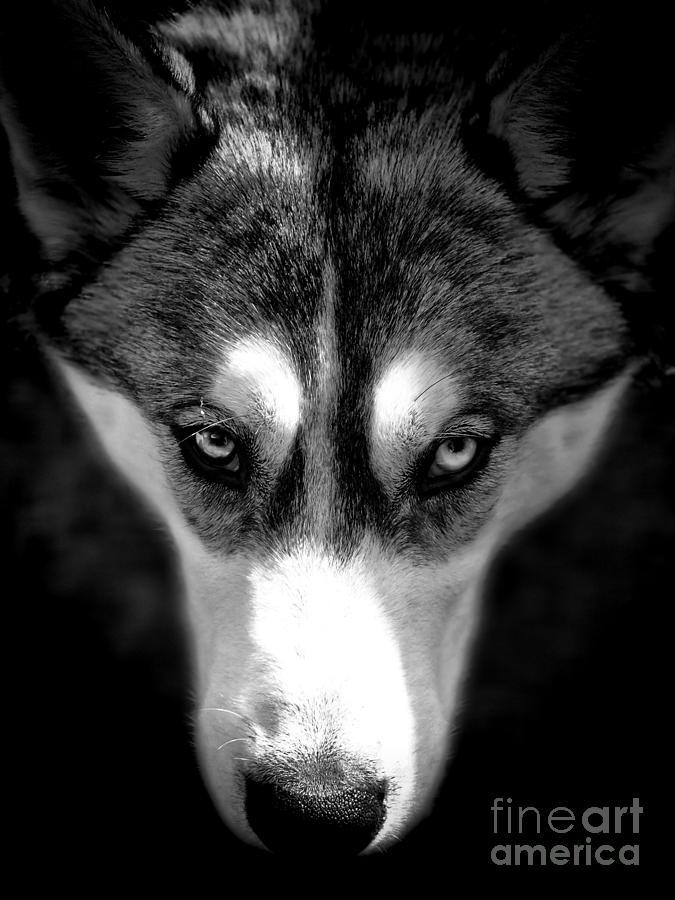 Beautiful Husky Photograph
