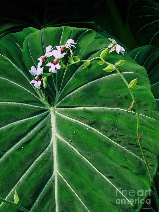 Beautiful Ivory Veins Of A Philodendron Photograph