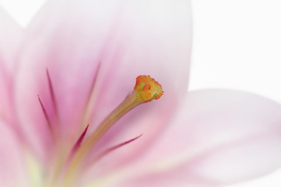 Beautiful Lily Photograph  - Beautiful Lily Fine Art Print