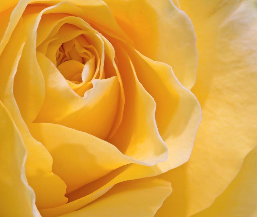 Beautiful Macro Close Up Of Fresh Sprring Rose Flower With Vibra Photograph