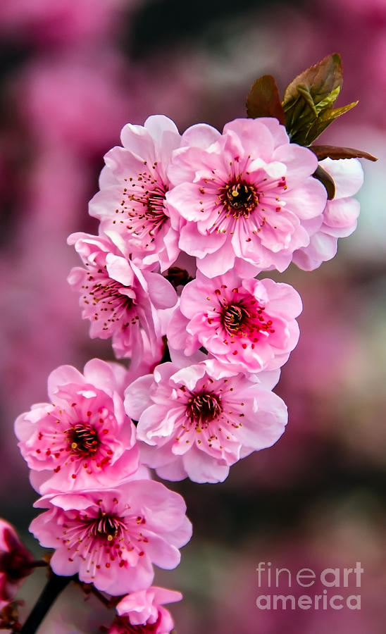 Beautiful Pink Blossoms Photograph