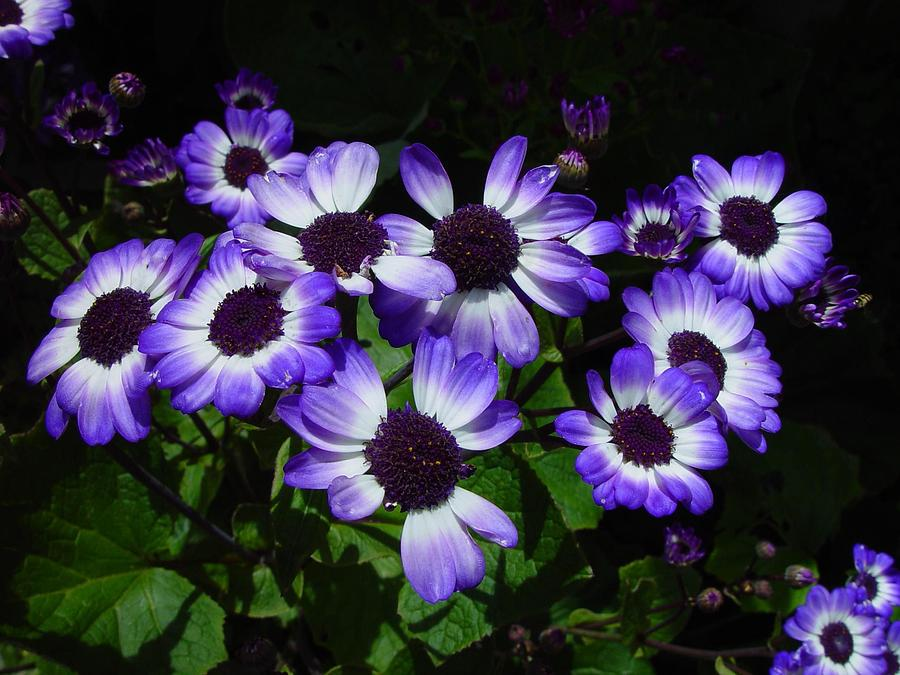 beautiful purple flower  klejonka, Beautiful flower