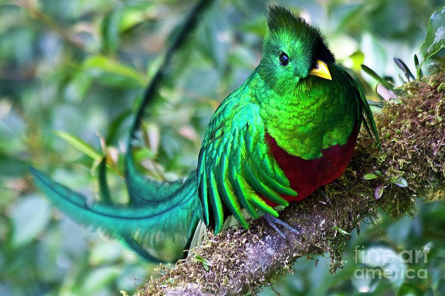 Beautiful Quetzal 4 Photograph
