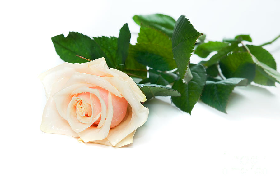 Beautiful Rose On White Photograph