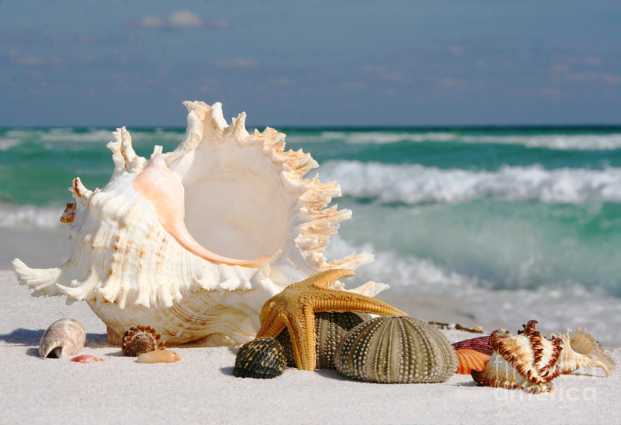 Beautiful Sea Shell On Sand Photograph
