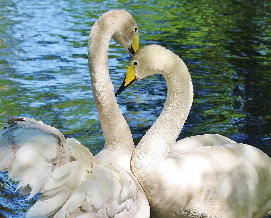 Beautiful Swans Photograph