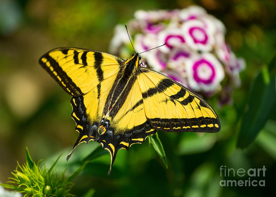 Beautiful Western Tiger Swallowtail Butterfly On Spring Flowers. Photograph  - Beautiful Western Tiger Swallowtail Butterfly On Spring Flowers. Fine Art Print