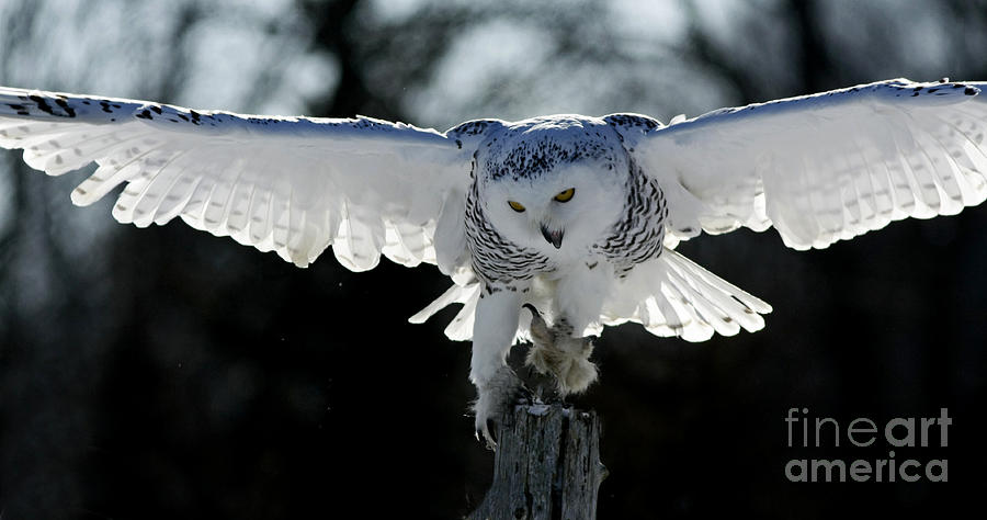 Beauty In Motion- Snowy Owl Landing Photograph