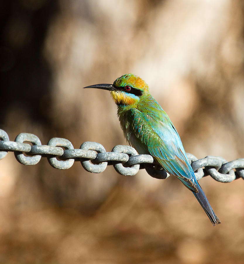 Wildlife Photograph - Beauty On Chains by Mr Bennett Kent