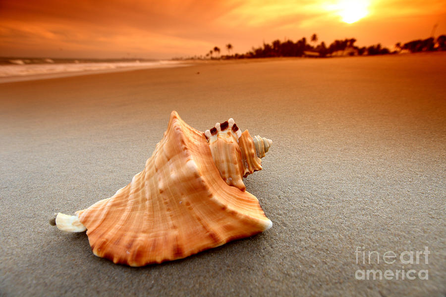 Beauty Shell Photograph