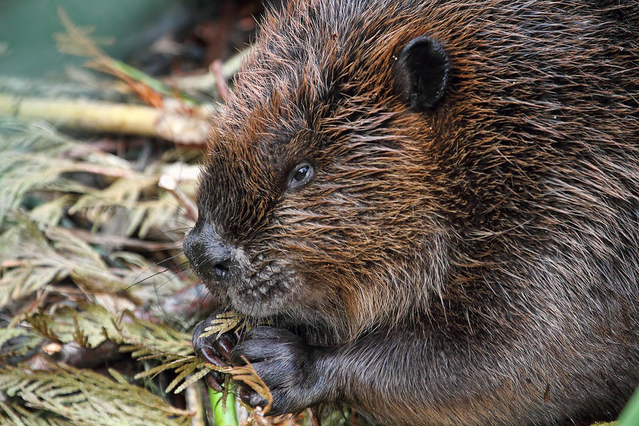 Pictures Of What Beavers Eat 19