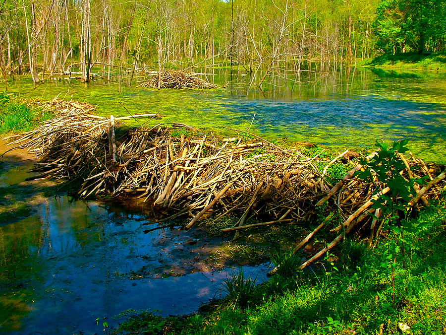 Beaver Lodge And Dam On Colbert Creek On Rock Spring Trail At Mile 330 On Natchez Trace Parkway-al Photograph