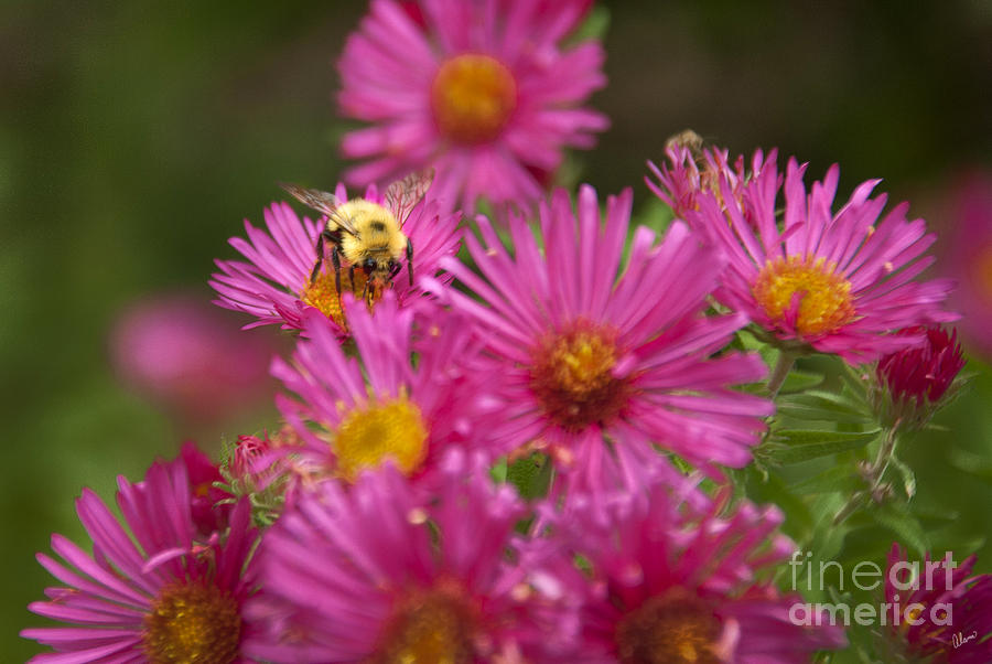 Bee Photograph  - Bee Fine Art Print