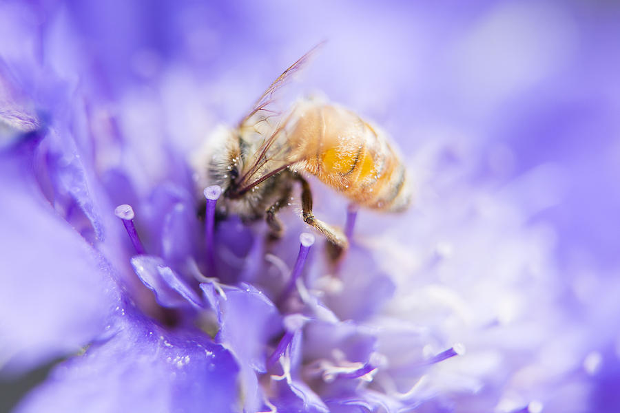 Bee Dream Photograph