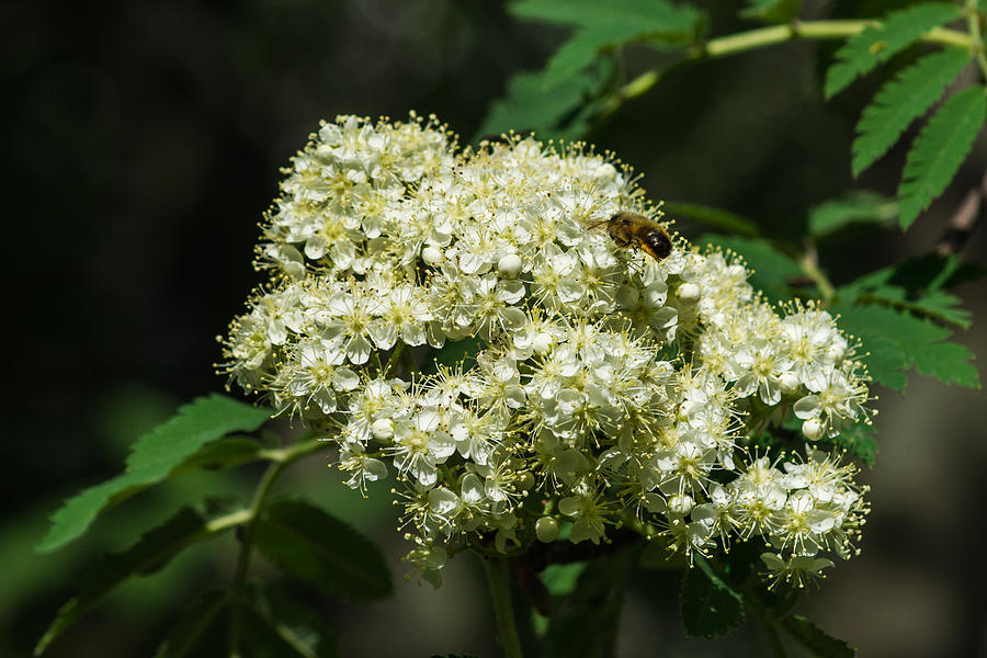 Bee Hovering Over Rowan Truss - Featured 3 Photograph