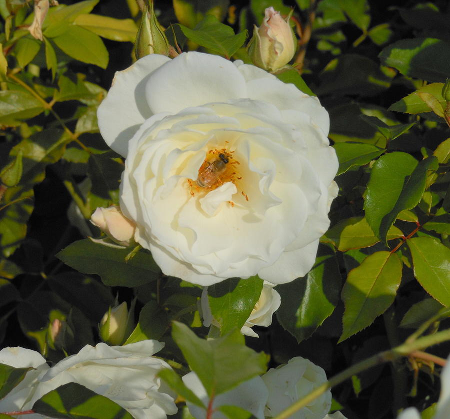 Bee In A White Rose Photograph