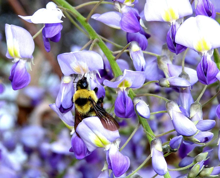 Bee In The Wisteria Photograph