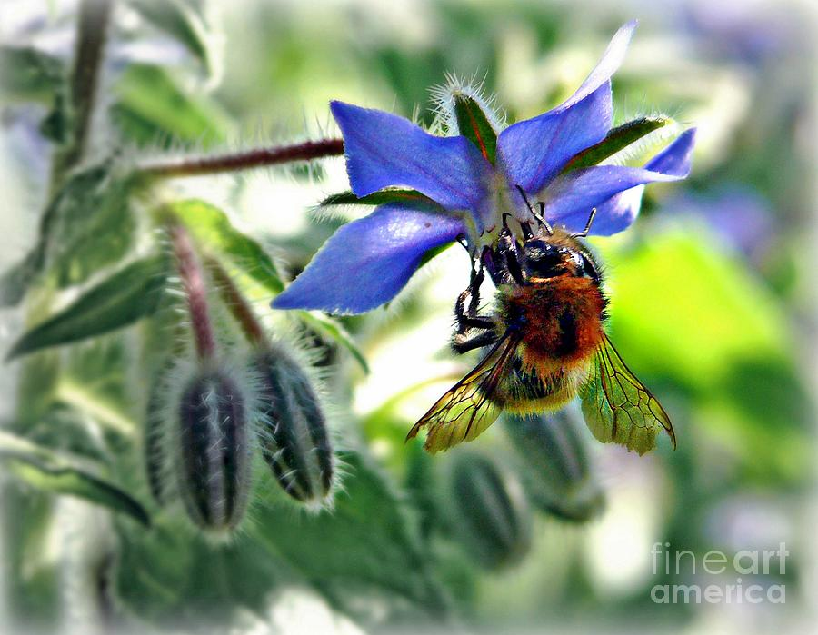 Bee On Borage Mixed Media  - Bee On Borage Fine Art Print