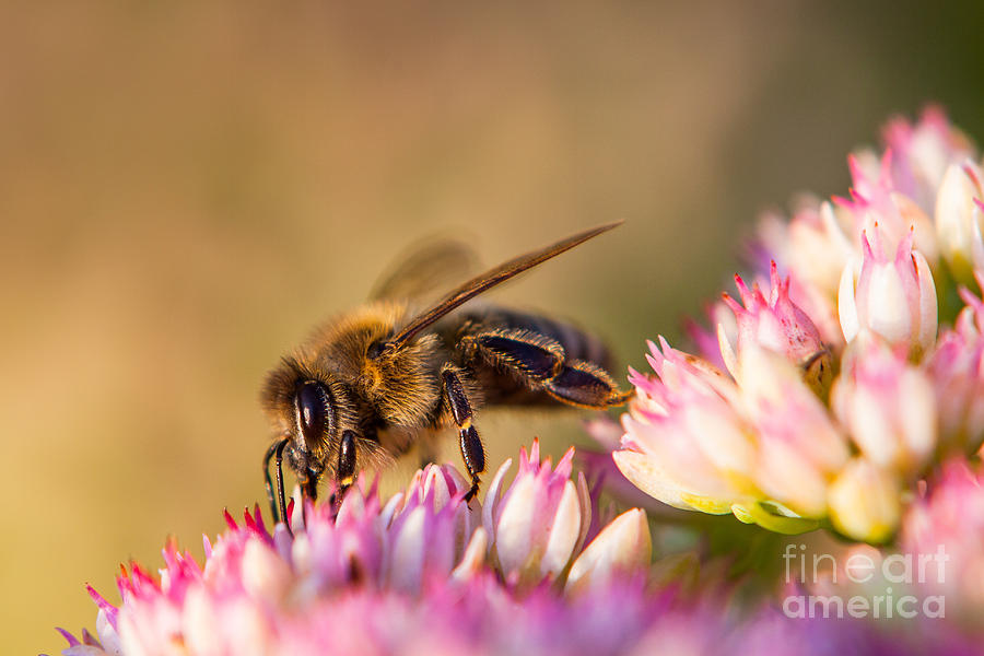Bee Sitting On Flower Photograph  - Bee Sitting On Flower Fine Art Print