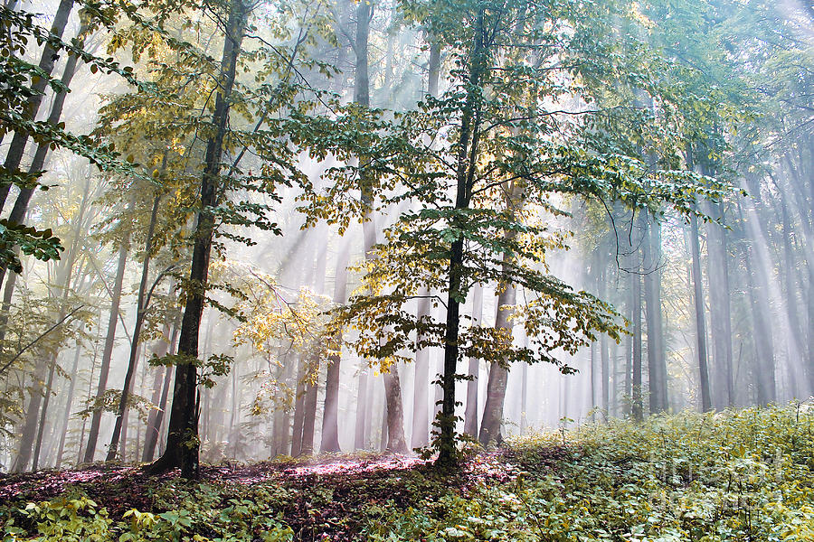 Forest Pastel - Beech Forest In Fog  by Odon Czintos