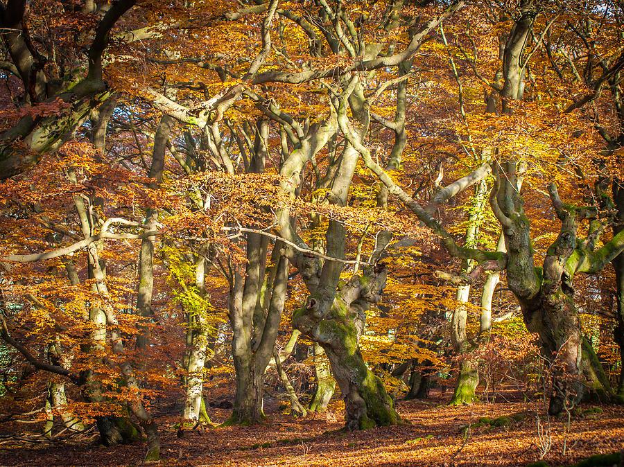 Alter Photograph - Beech Tree Group In Autumn Light by Martin Liebermann