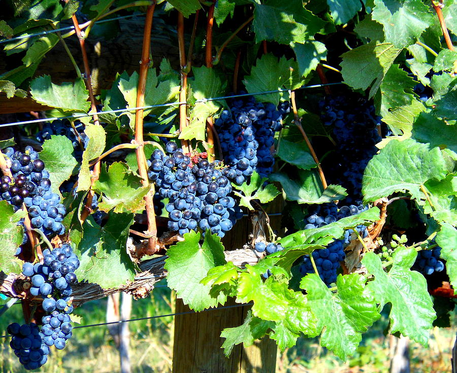 Grapes Photograph - Before The Harvest by Kay Gilley