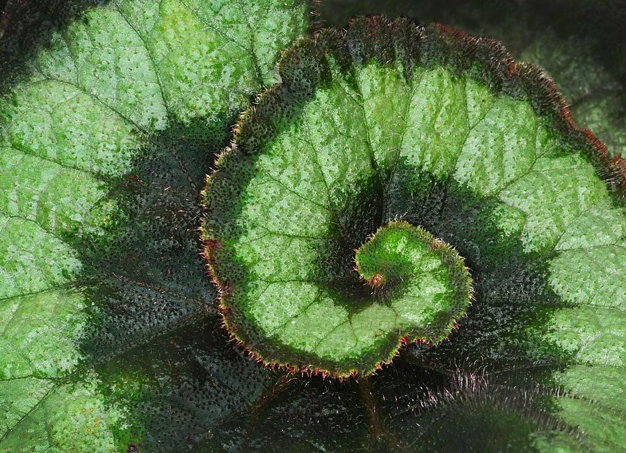 Begonia Leaf 2 by Dave Mills