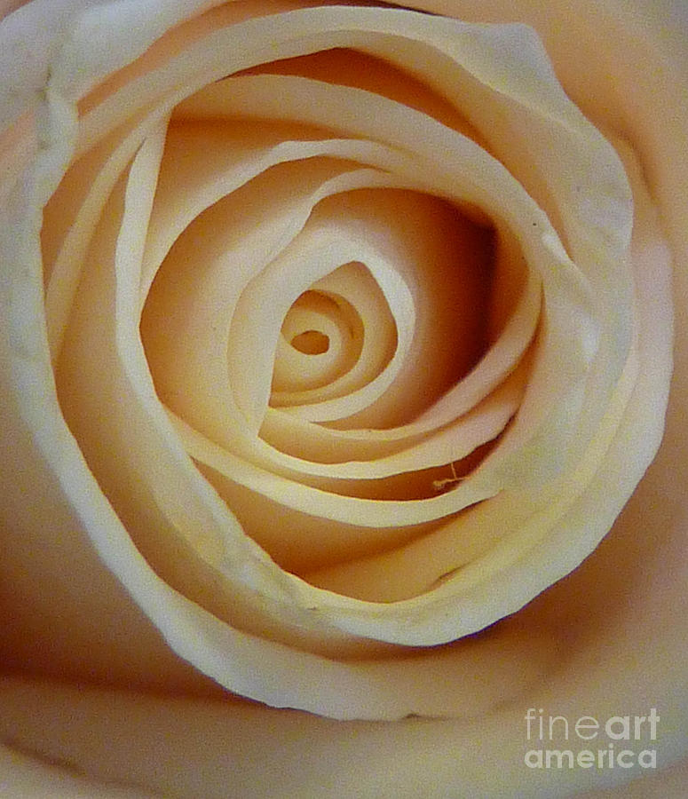 Beige Rose Photograph  - Beige Rose Fine Art Print