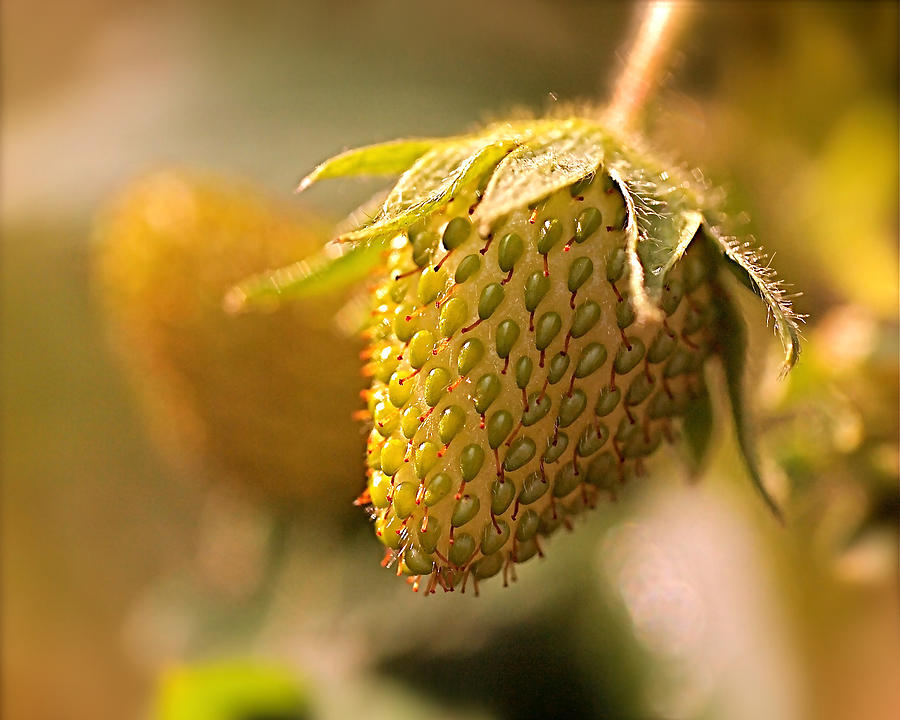 Strawberries Photograph - Being Young And Green by Rona Black