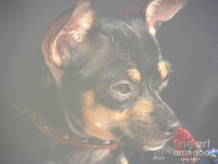 Art For The Wall...patzer Photography.chihuahua Photograph - Bella by Greg Patzer