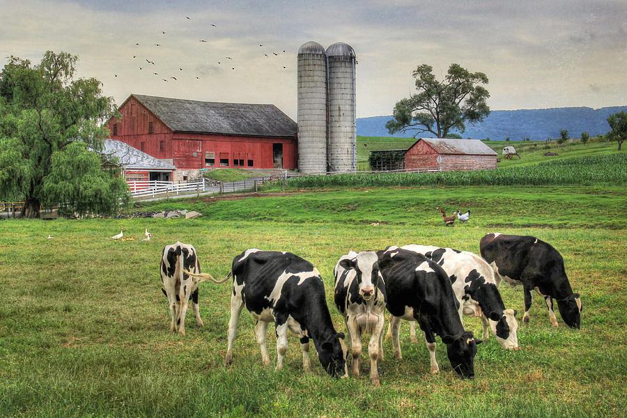 Belleville Cows Photograph