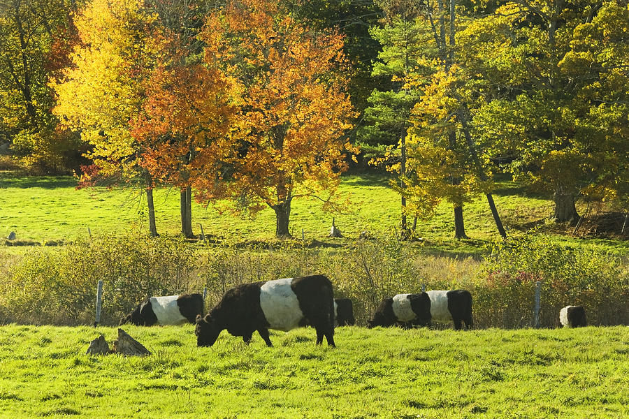 Cow Photograph - Belted Galloway Cows Grazing On Grass In Rockport Farm Fall Maine Photograph by Keith Webber Jr