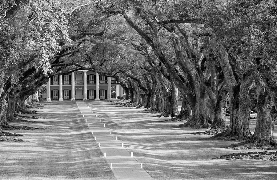 Beneath Live Oaks Bw Photograph