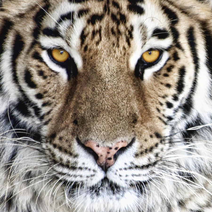 Bengal Tiger Eyes Photograph