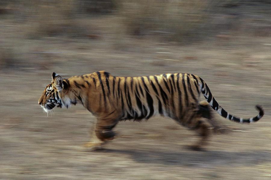 Bengal Tiger Walking  Photograph