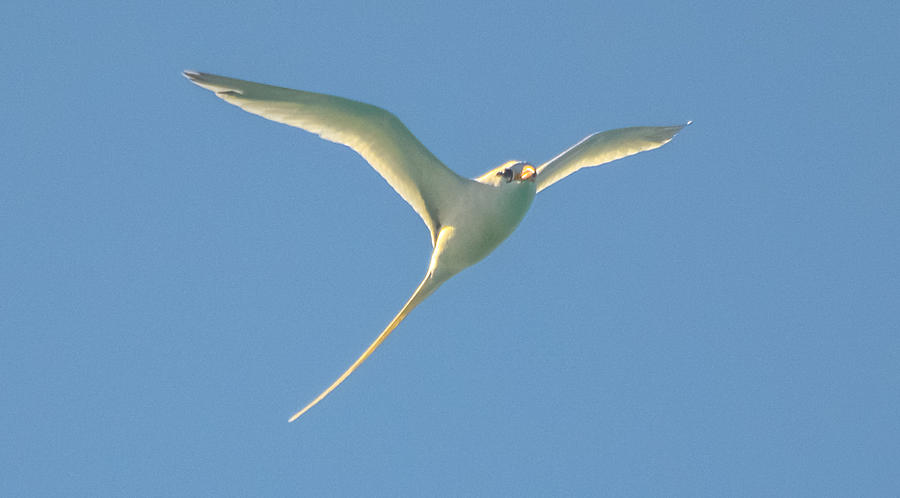 Bermuda Photograph - Bermuda Longtail In Flight by Jeff at JSJ Photography