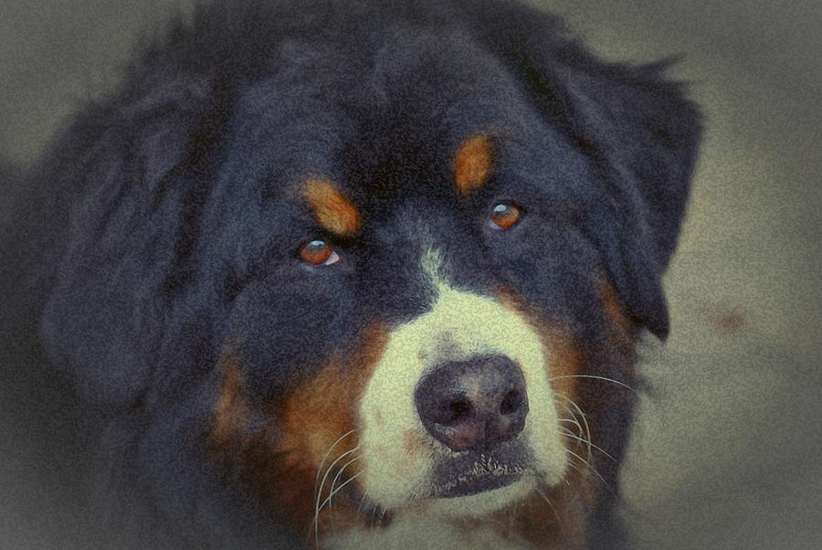Bernese Mountain Dog Photograph