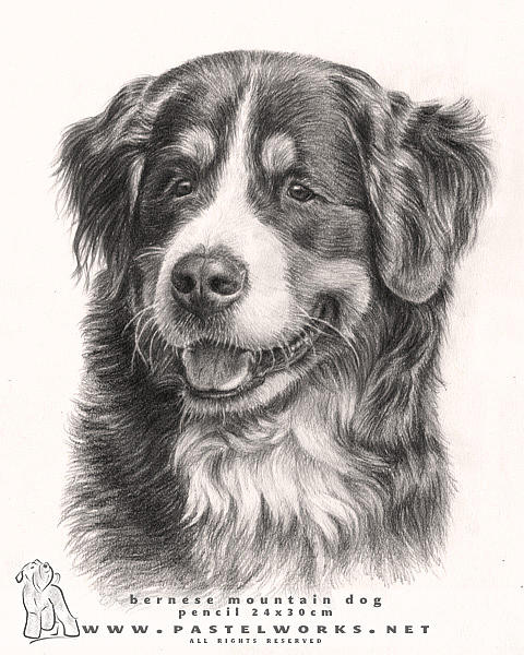 Bernese Mountain Dog Drawing By Tobiasz Stefaniak