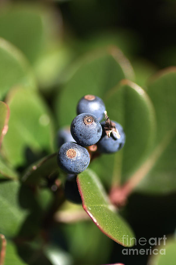 Berries Of Blue Photograph  - Berries Of Blue Fine Art Print