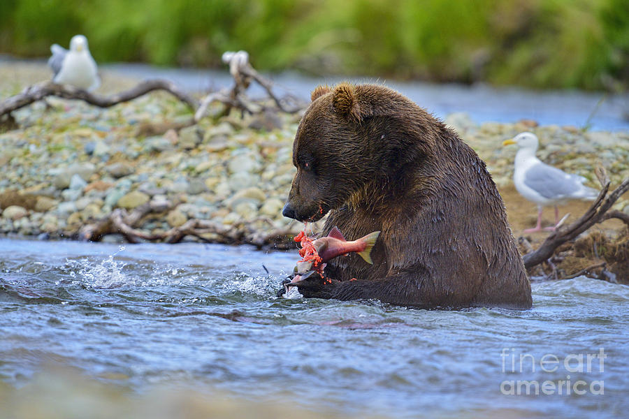 Big Brown Bear Eating Salmon In Stream Photograph