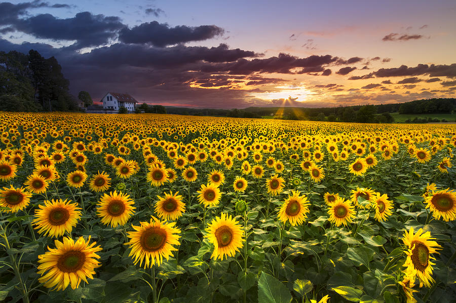 Big Field Of Sunflowers Photograph  - Big Field Of Sunflowers Fine Art Print