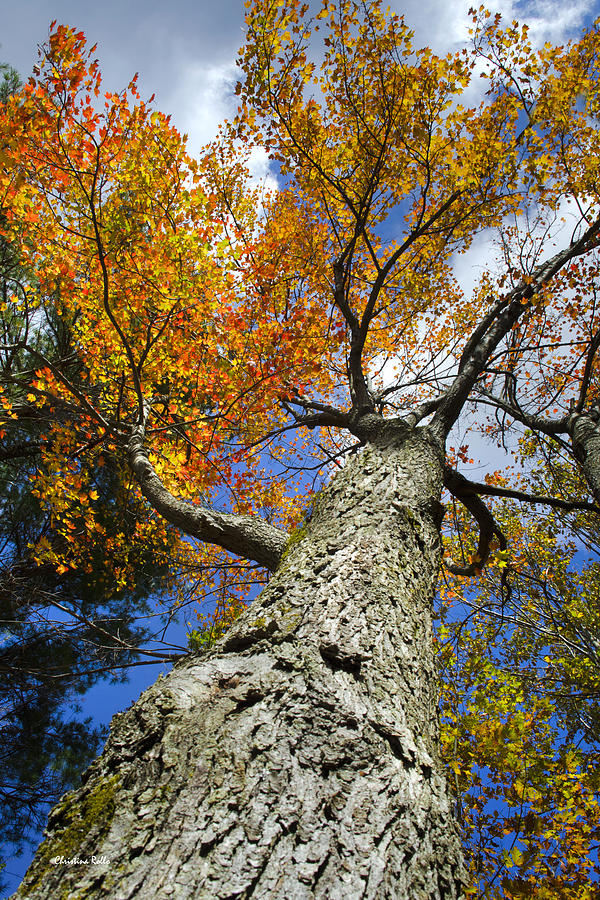 Big Orange Maple Tree Photograph
