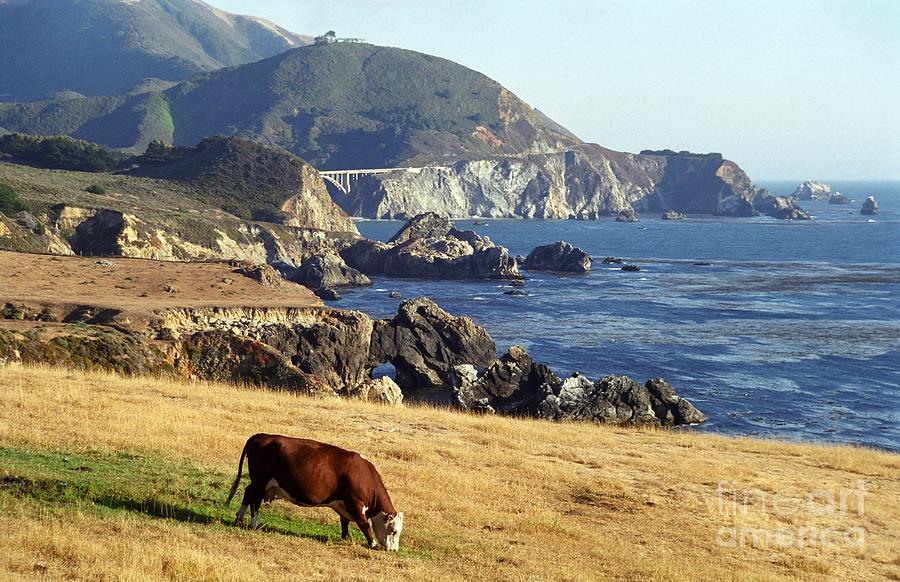 Big Sur Cow Photograph