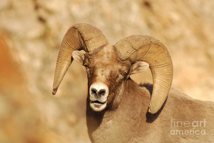 Bighorn Sheep Utah 6 Photograph  - Bighorn Sheep Utah 6 Fine Art Print