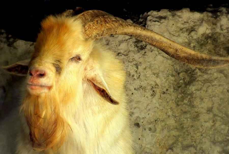 Billy Goat Gruff Photograph  - Billy Goat Gruff Fine Art Print