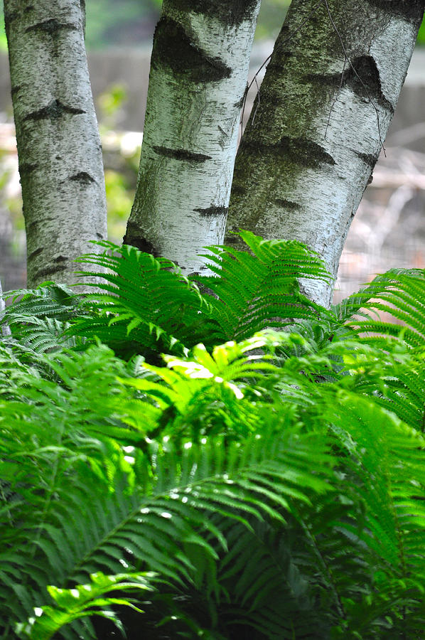 Birch And Fern Photograph
