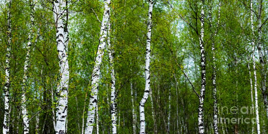 Birch Photograph - Birch Forest by Hannes Cmarits