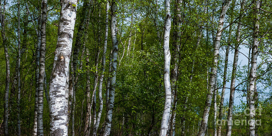 Birch Forest In The Summer Photograph