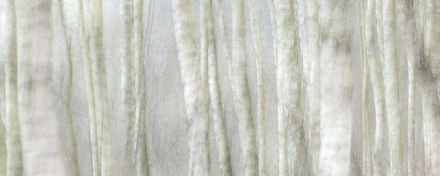 Birch Tree Impression No 1 Photograph