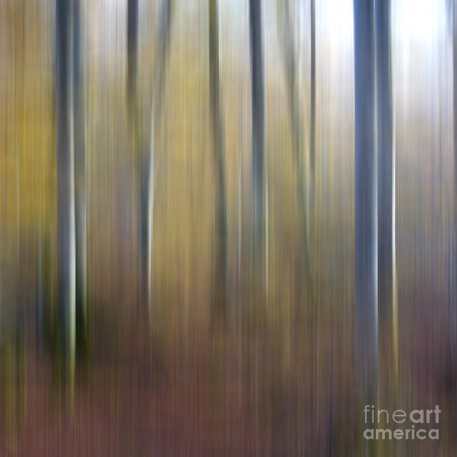 Birch Trees. Abstract. Blurred Photograph